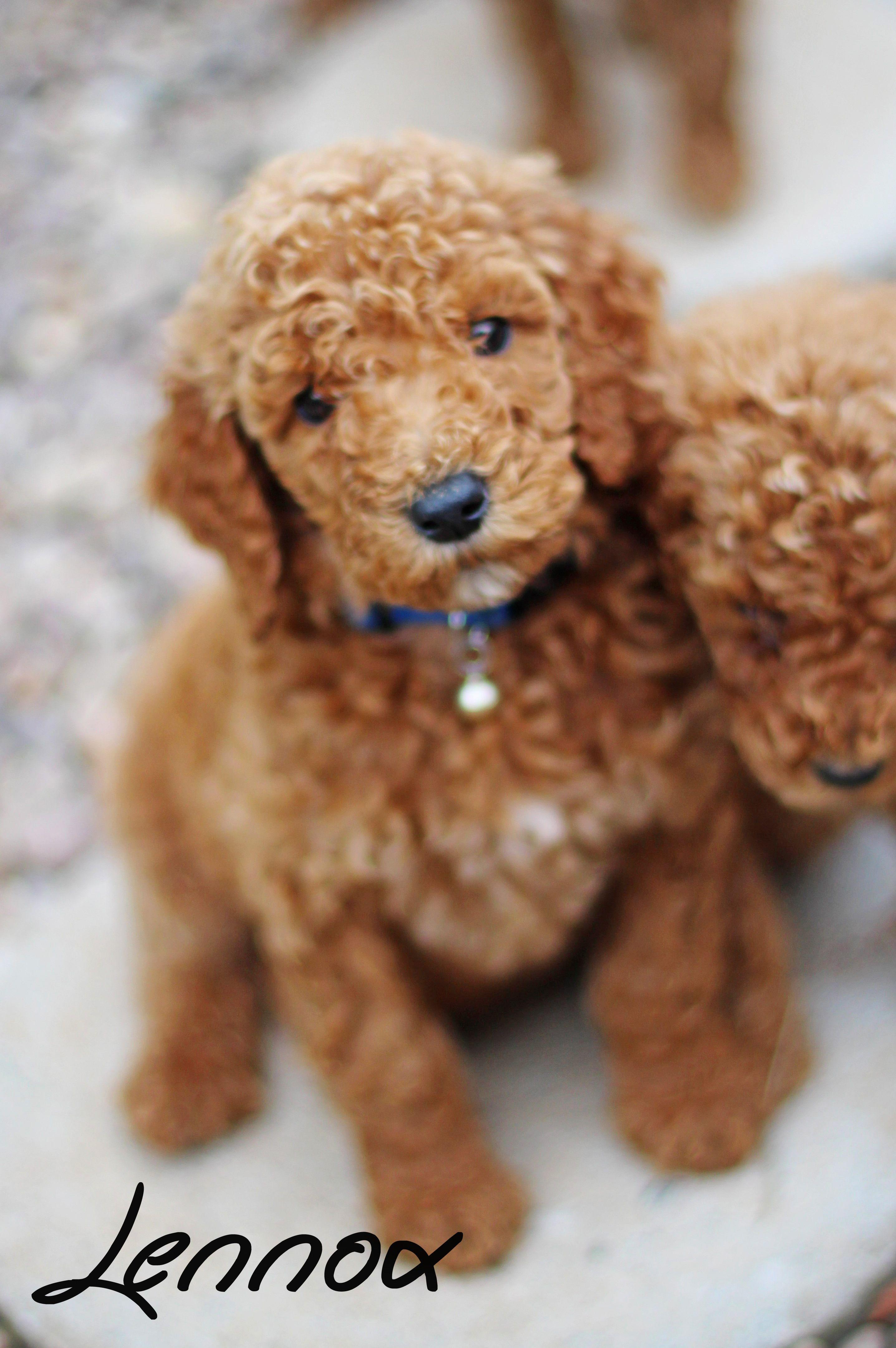 Lennox 6 week old red standard poodle sugar n spice my