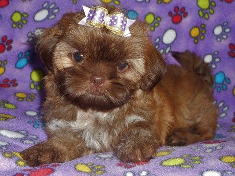 Litter Of 6 Shih Tzu Puppies For Sale In West Chicago Il Adn