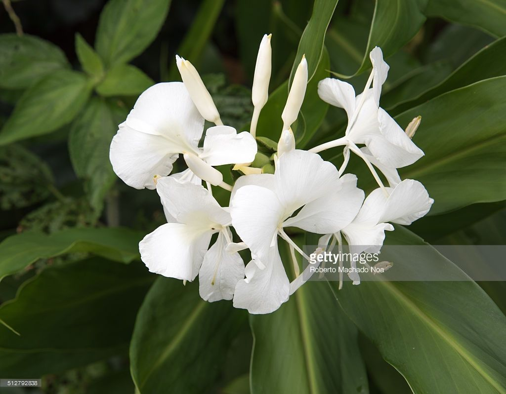 Cuban National Flower: Hedychium coronarium or Mariposa. The flower was used by women to hide messages of the independentist fighters against the Spanish colony.