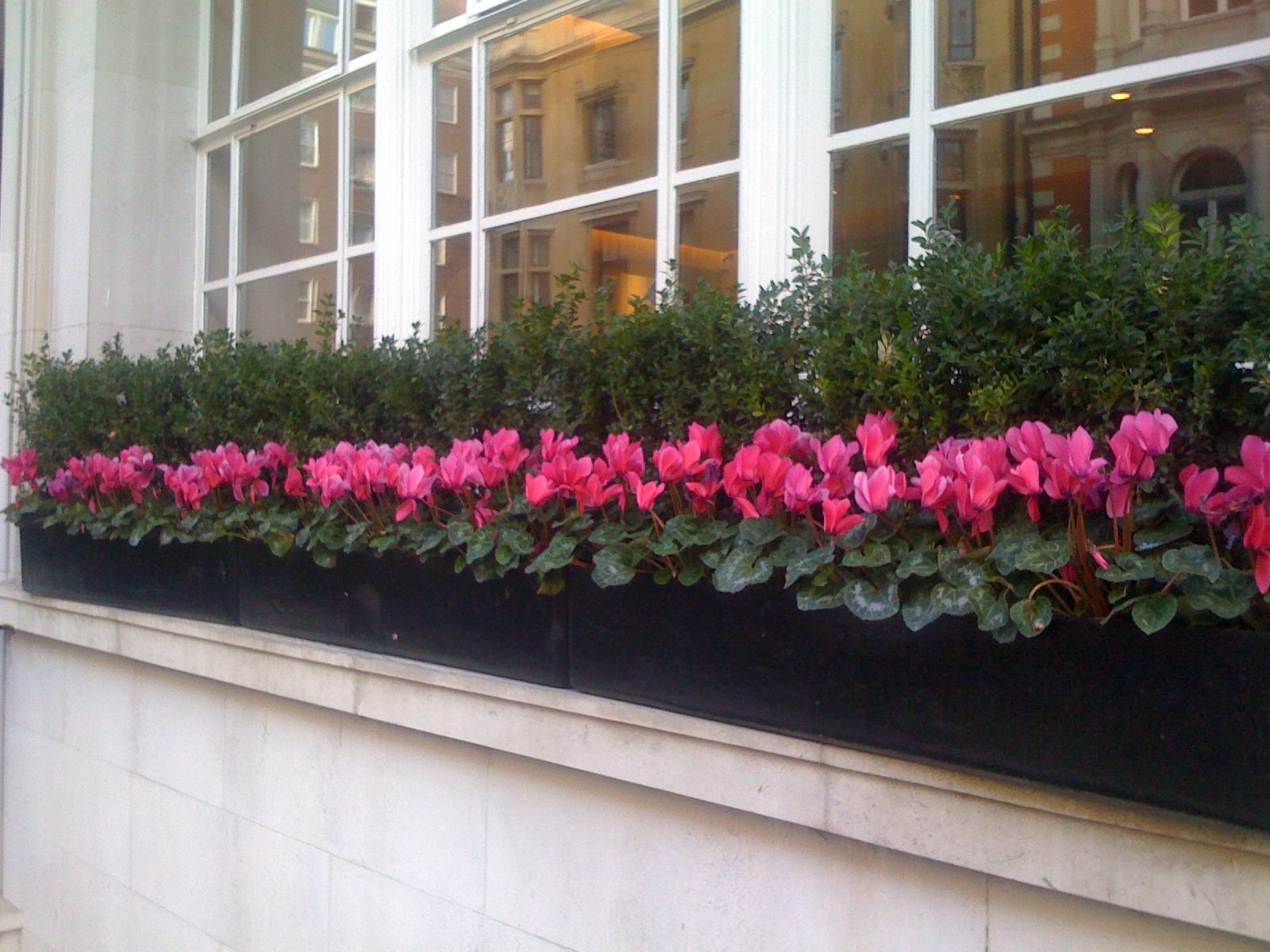 Christmas window box filler - Buxus And Pink Cyclamen Make For A Striking Looking Planted Window Box