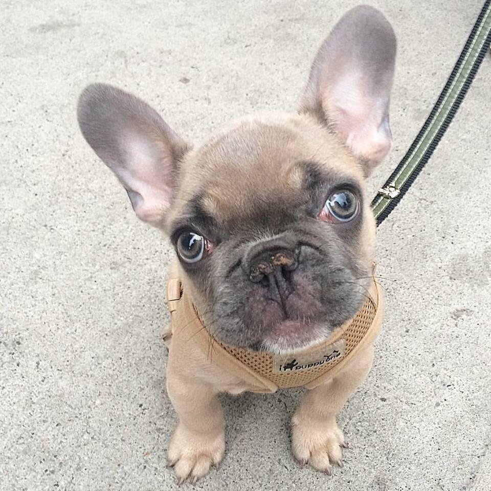 Bernard the frenchbulldog Puppy. puppytraining NYC