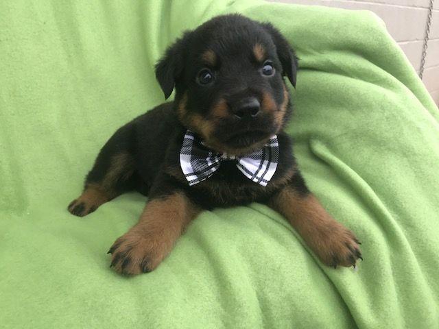 Rottweiler Puppy For Sale In Ephrata Pa Adn 41955 On Puppyfinder