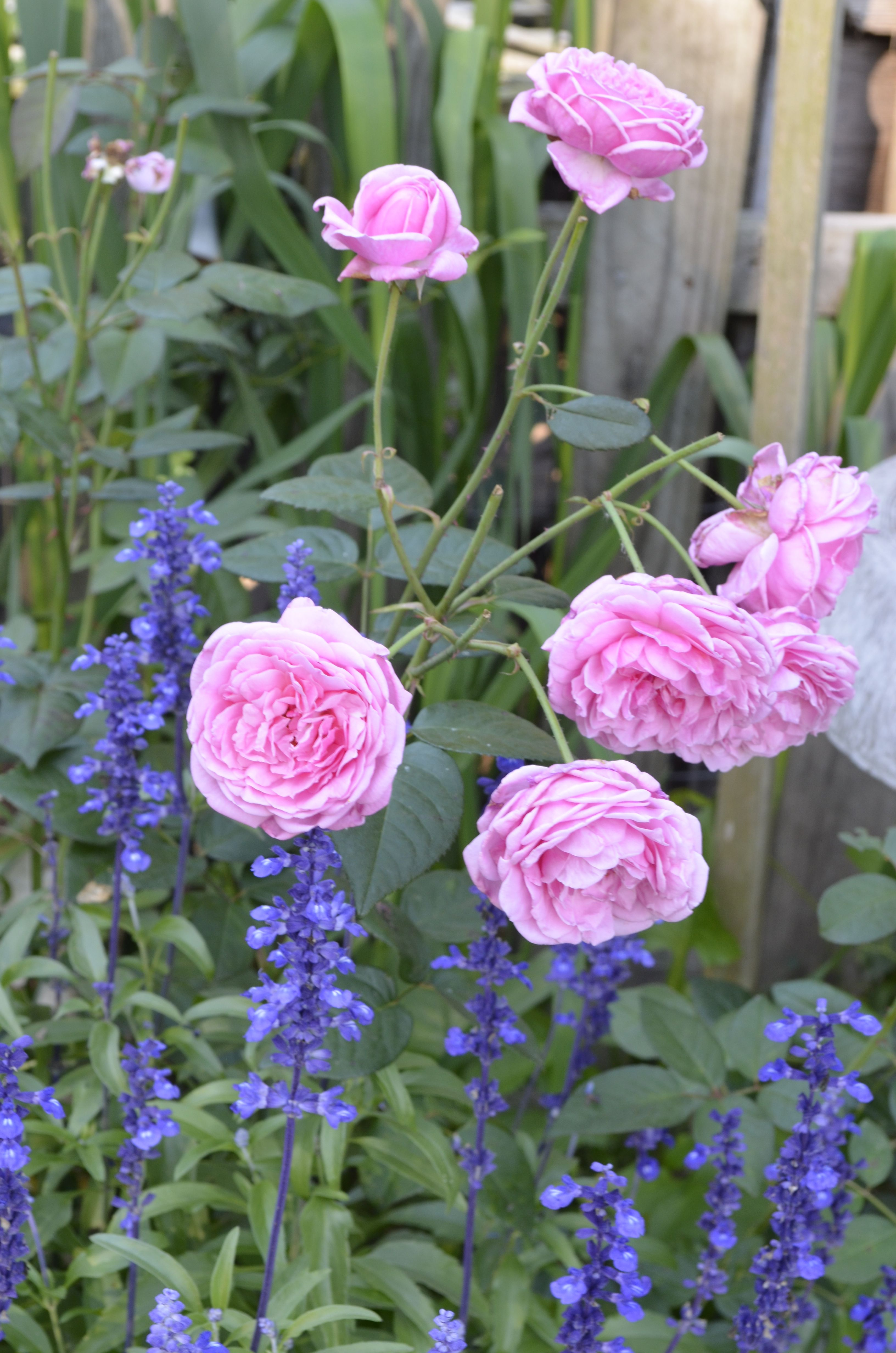 "this is my david austen rose, ""bishop's castle"" and the purple"
