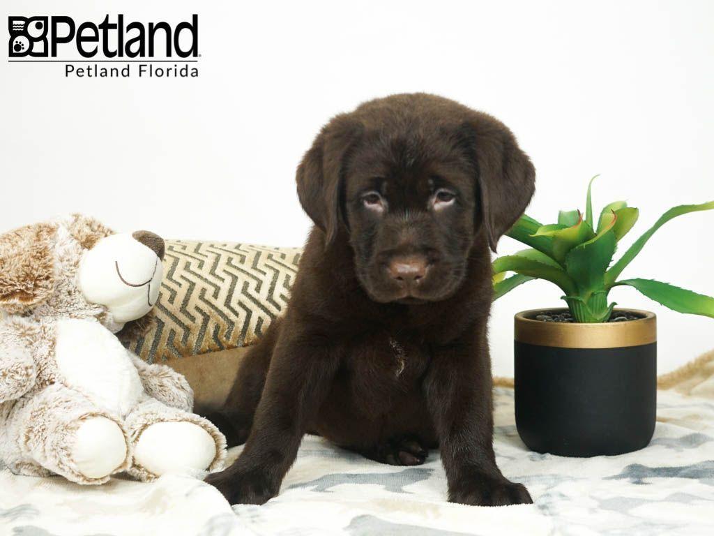 Petland Florida Has Labrador Retriever Puppies For Sale Check Out All Our Available Puppies La Puppy Friends Labrador Retriever Puppies Labrador Retriever