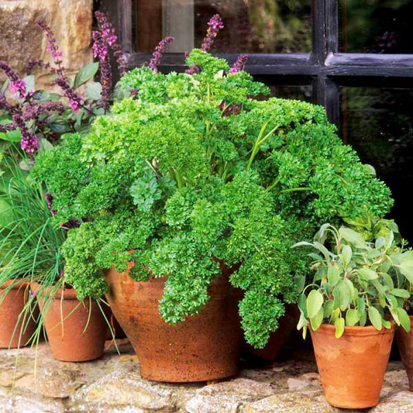 How To Grow Parsley In Pots Year Round In A Little To No Space Parsley Plant Growing Parsley Parsley Seeds