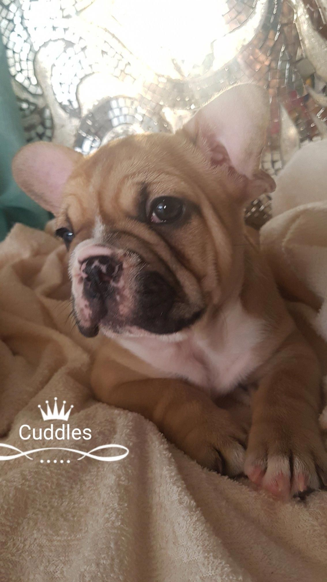 Find Out More Info On French Bulldog Pup Have A Look At Our