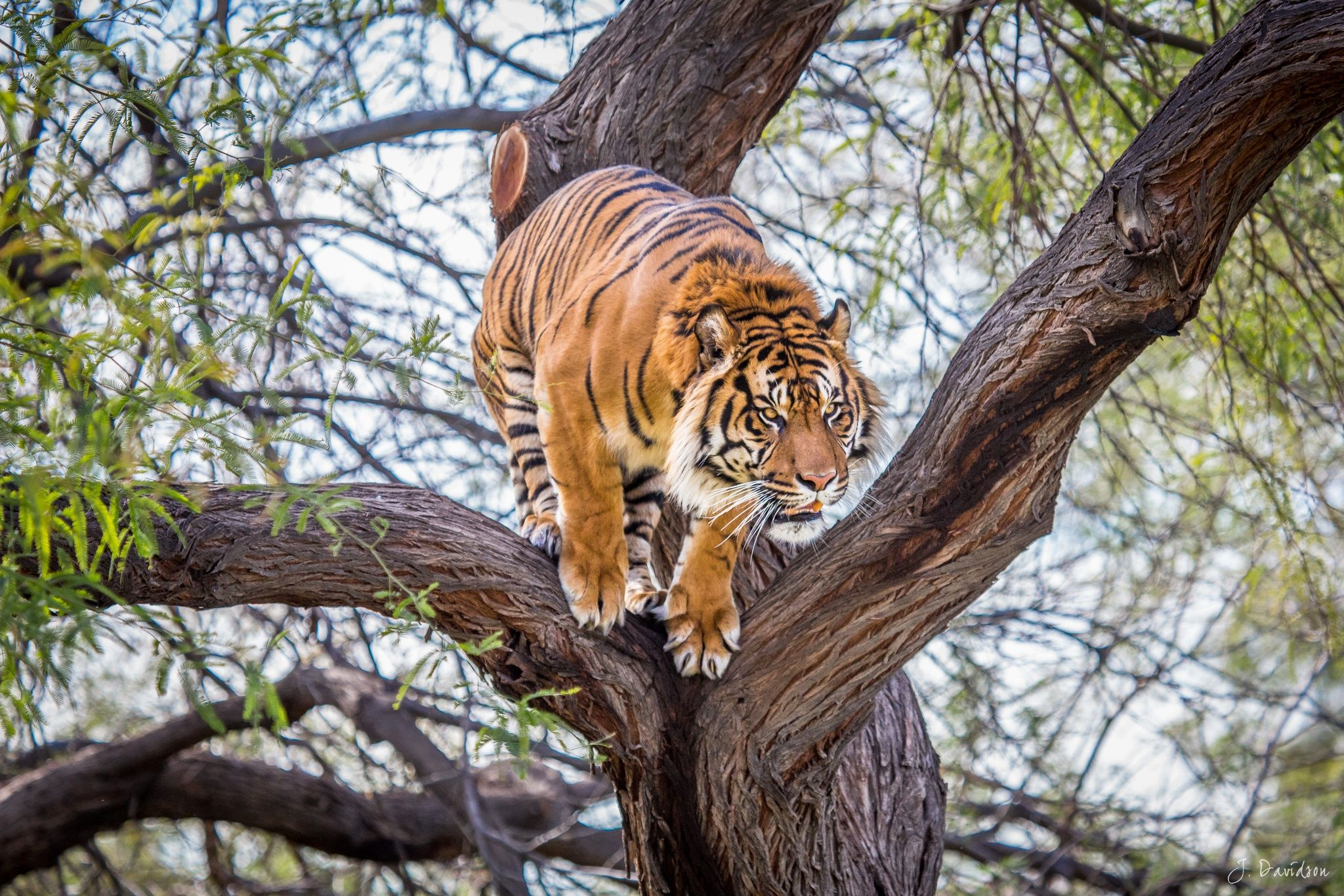 Tiger in a tree by Jim Davidson on 500px