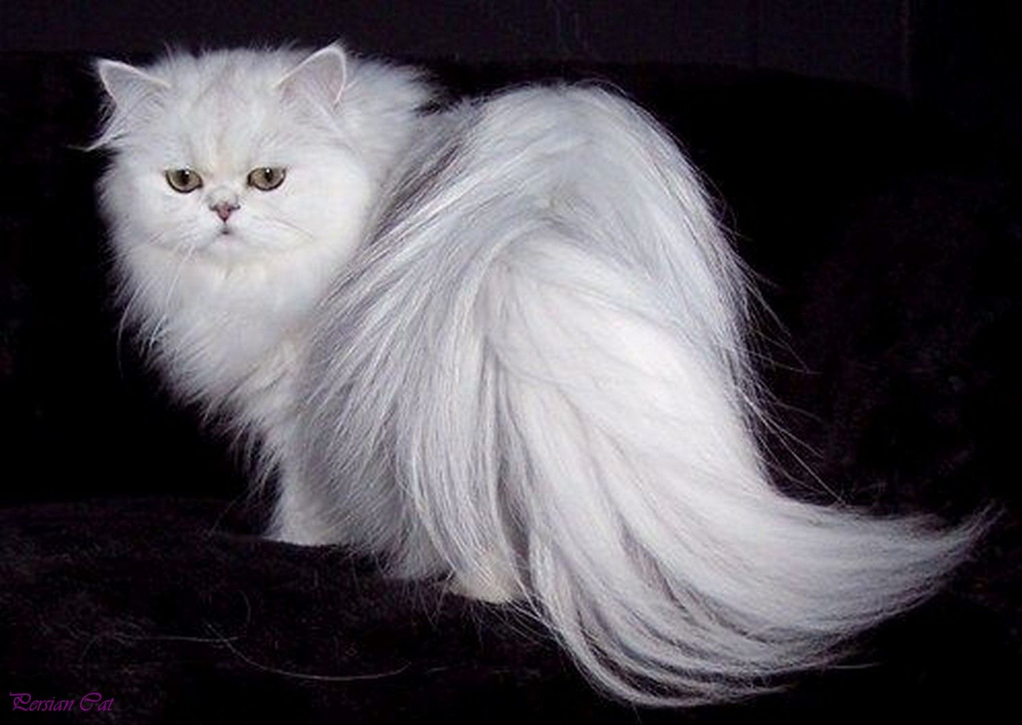 kitty persian Adult