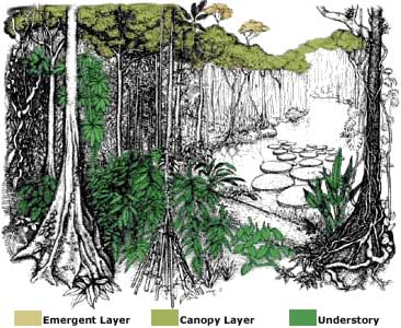 Tropical Rainforest Layers (With images) Plant