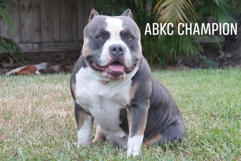 Best Of The Tri Color American Bully I 2020