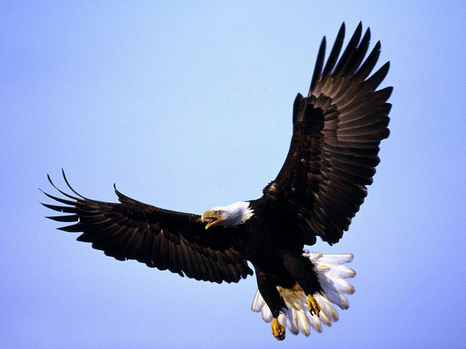 Bald Eagle Pictures Eagle Pictures Eagle Images 1080p eagle images hd wallpaper download