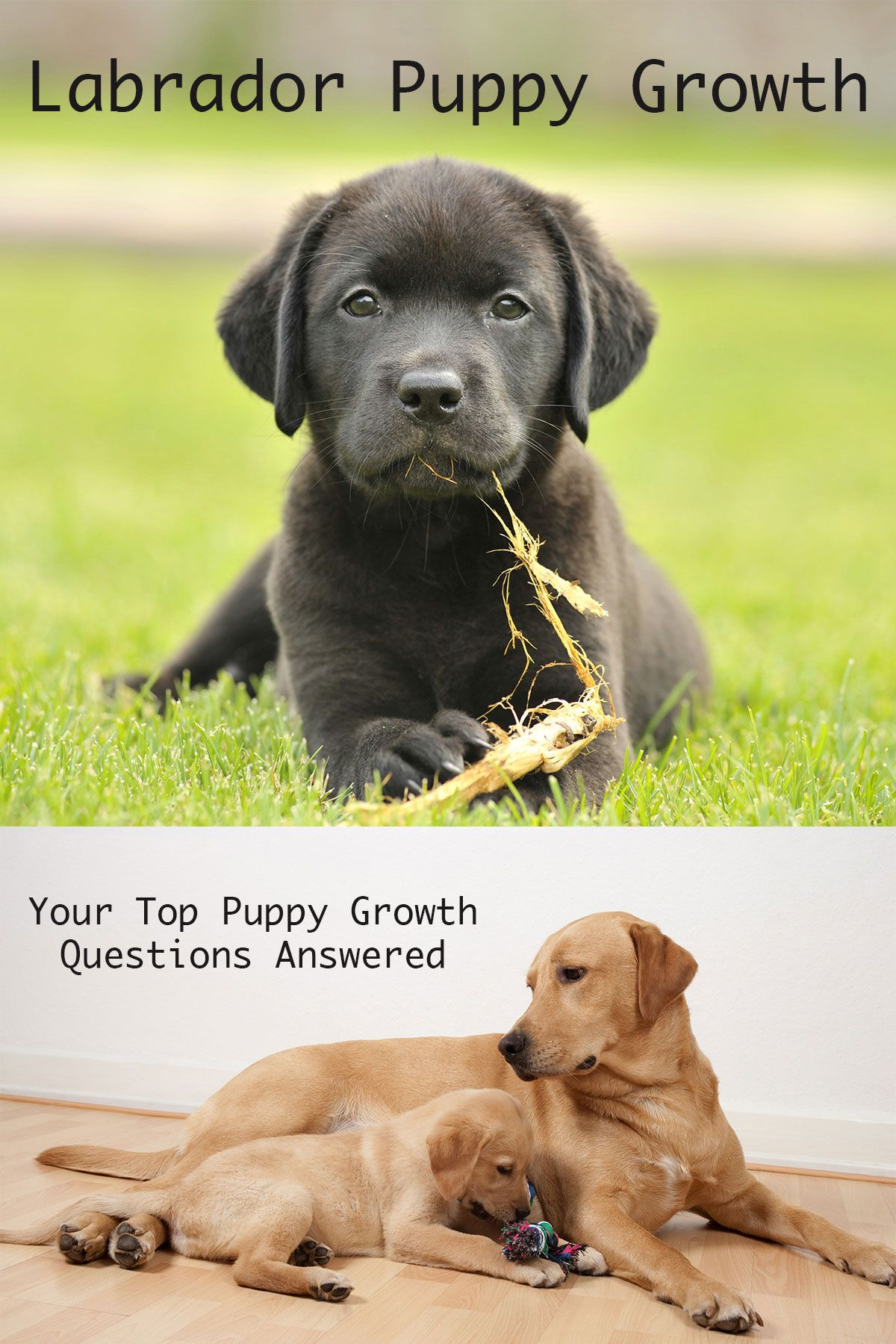 When do dogs stop growing labrador puppy growth chart and faq 8 frequently asked labrador puppy growth questions geenschuldenfo Gallery