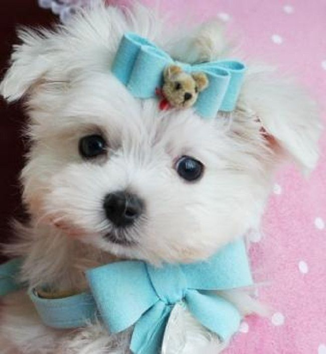 Teacup Yorkie Puppies For Sale In Pa Cute Puppies Maltese Puppy Teacup Yorkie Puppy Teacup Puppies Maltese