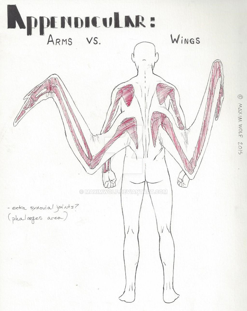human avian anatomy: arms vs. wings by maximwolf.deviantart on, Muscles