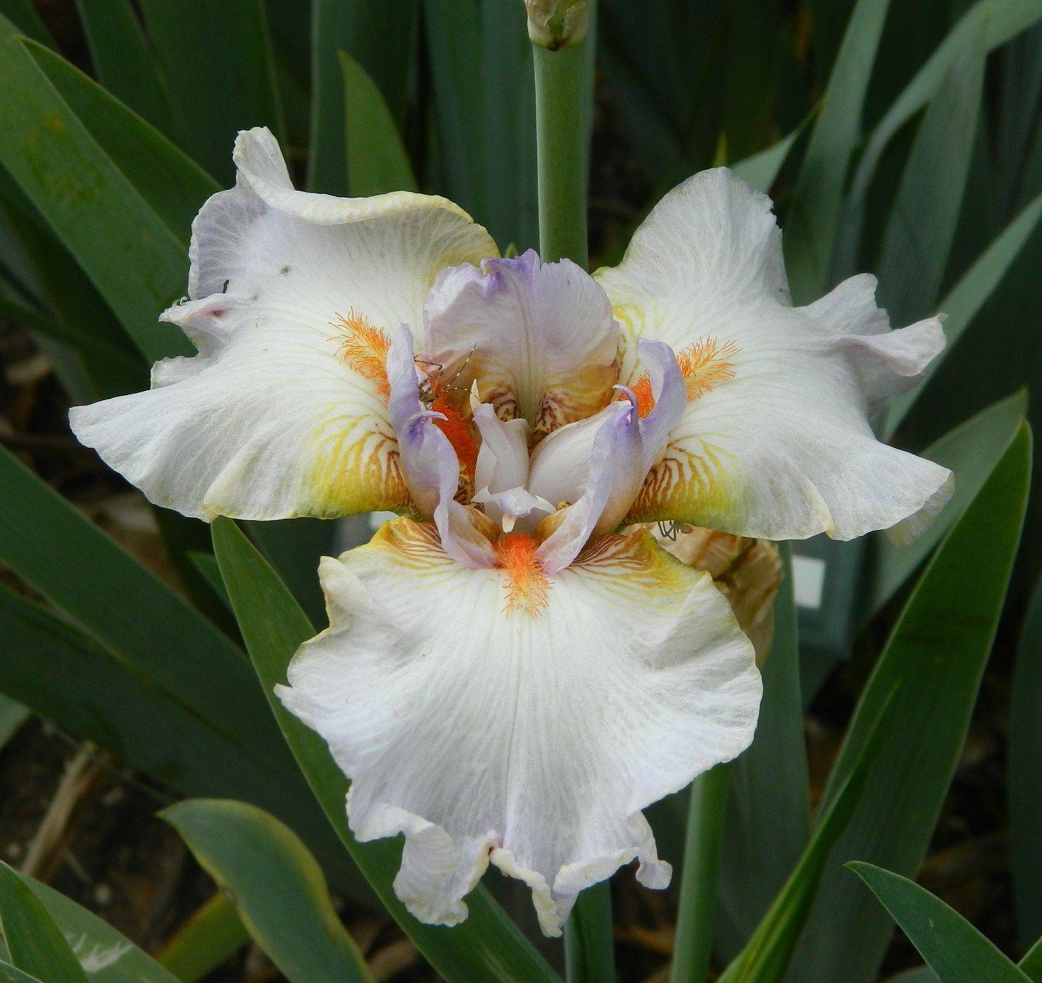 Tbteacup Tbpthrut Iris Wiki Iris White In 2018 Pinterest