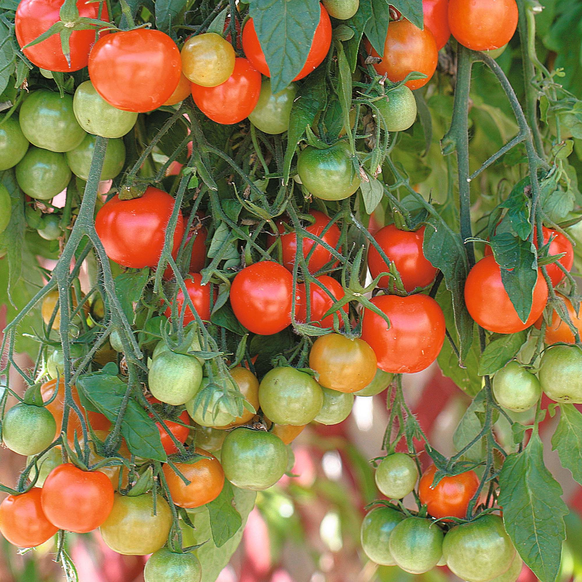 Hanging Basket Tomatoes Tomato Growing In Containers Tomato Seeds Growing Tomatoes In Containers Planting Vegetables