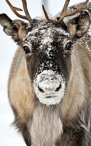 Image result for reindeer photos