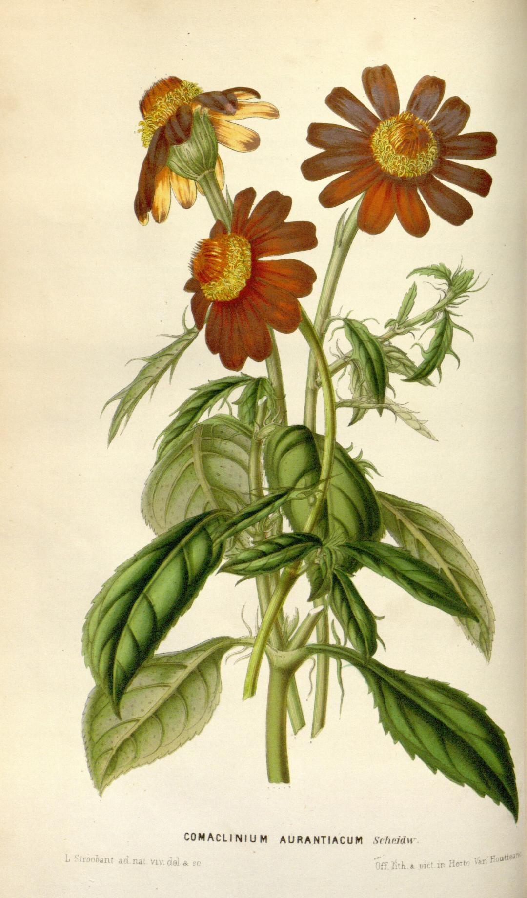 Comaclinium aurantiacum