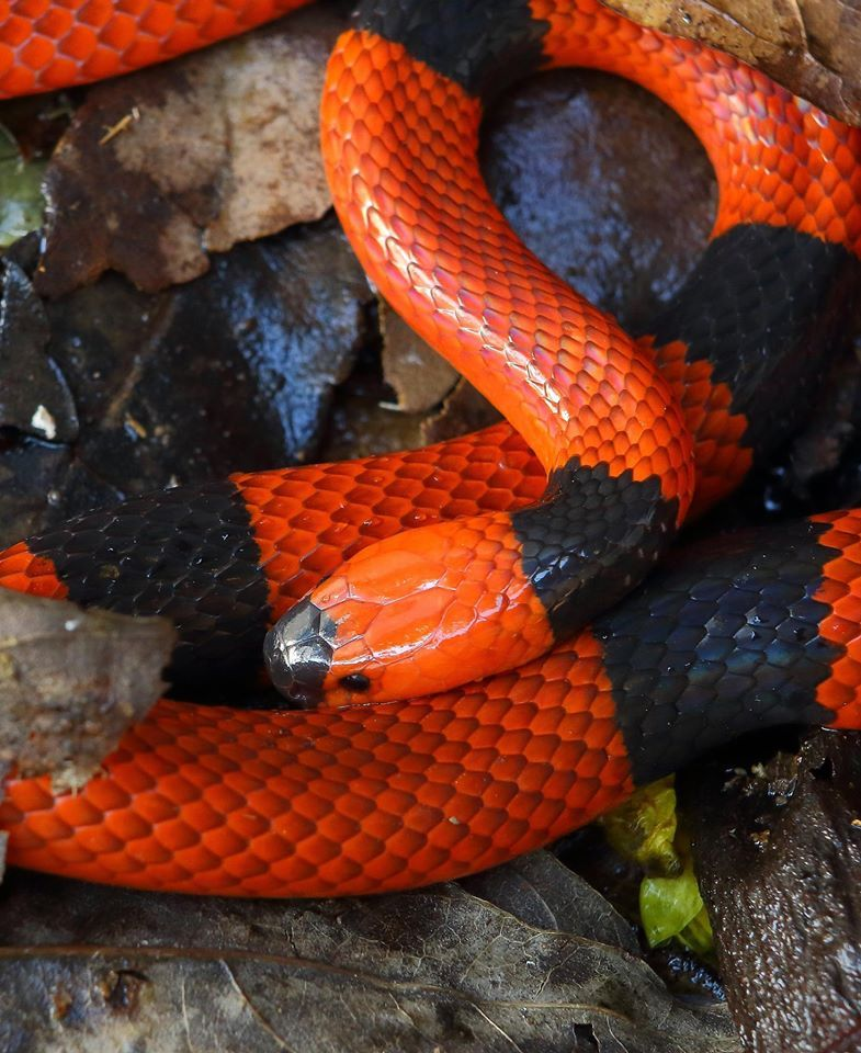 Central American Coral Snake By