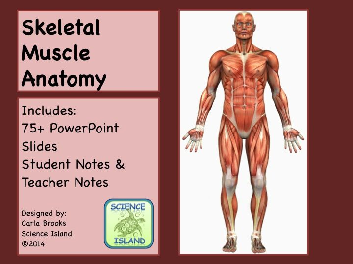 Muscle anatomy powerpoint lesson and notes skeletal muscles power this editable power point presentation with over 65 slides is designed for a high school or introductory college level anatomy and physiology course ccuart Gallery