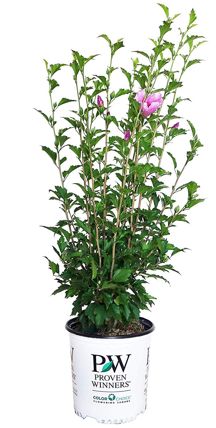 Proven Winners Hibiscus Syriacus Purple Pillar Rose Of Sharon
