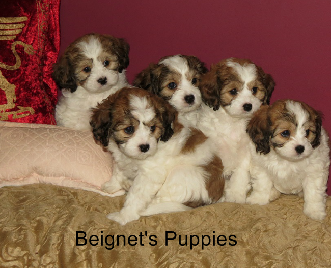 Cavachon Puppies For Sale The Monarchy Cavachon Puppies Cavachon Puppies For Sale