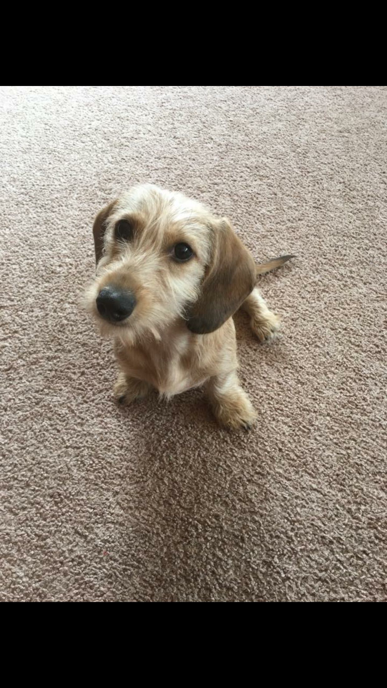 My Cutie Wire Haired Daschund Dachshund Breed Dog Shedding
