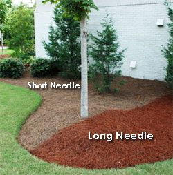 Long Vs Short Needle Pine Straw Pine Straw Is A Great Non