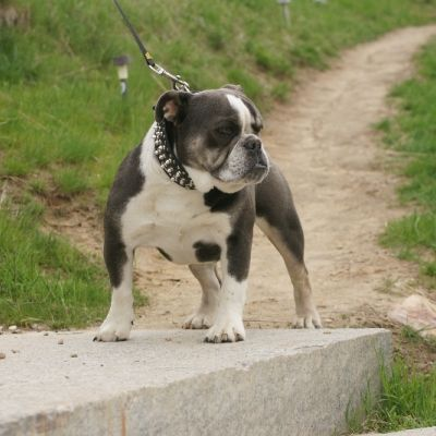 Allot Of Bully Blue Cinderalla In 2020 Bulldog Puppies For Sale