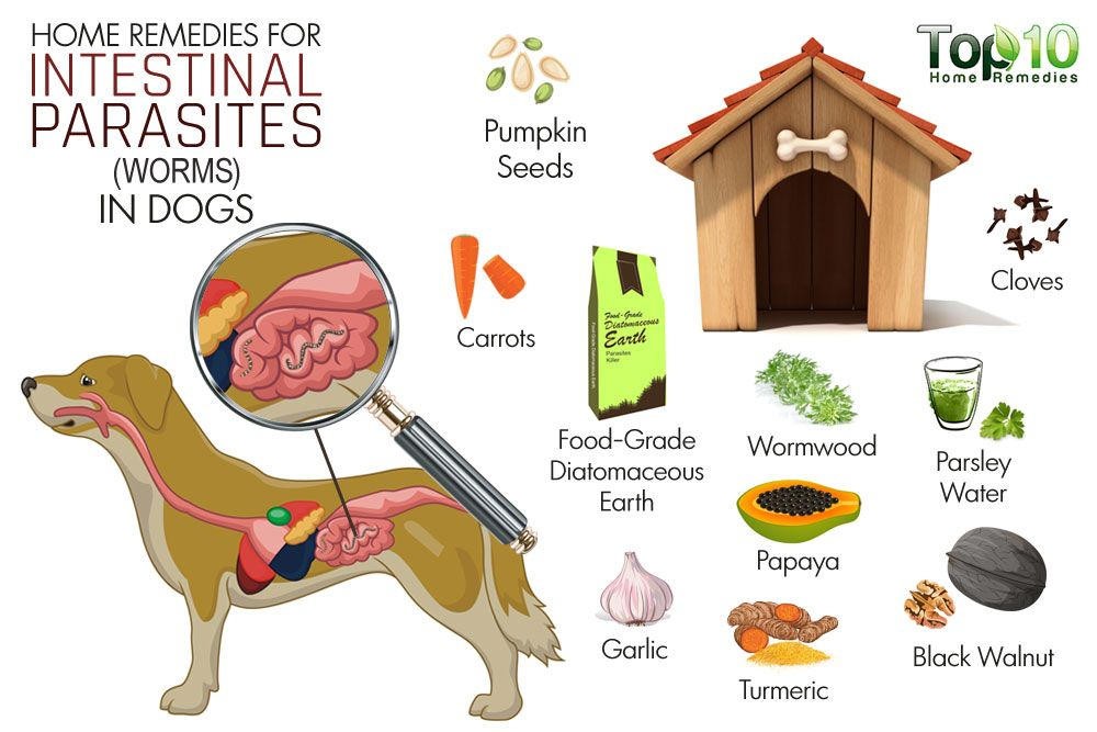 Home Remedies for Intestinal Parasites (Worms) in Dogs