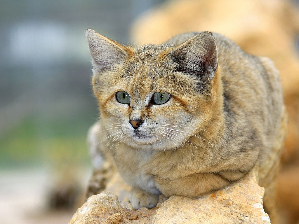 The Sand Cat Lives In Arid Areas That Are Too Hot And Dry Even For The African Wildcat The Sahara The Arabian Desert And The Deserts Sand Cat Cats Wild Cats