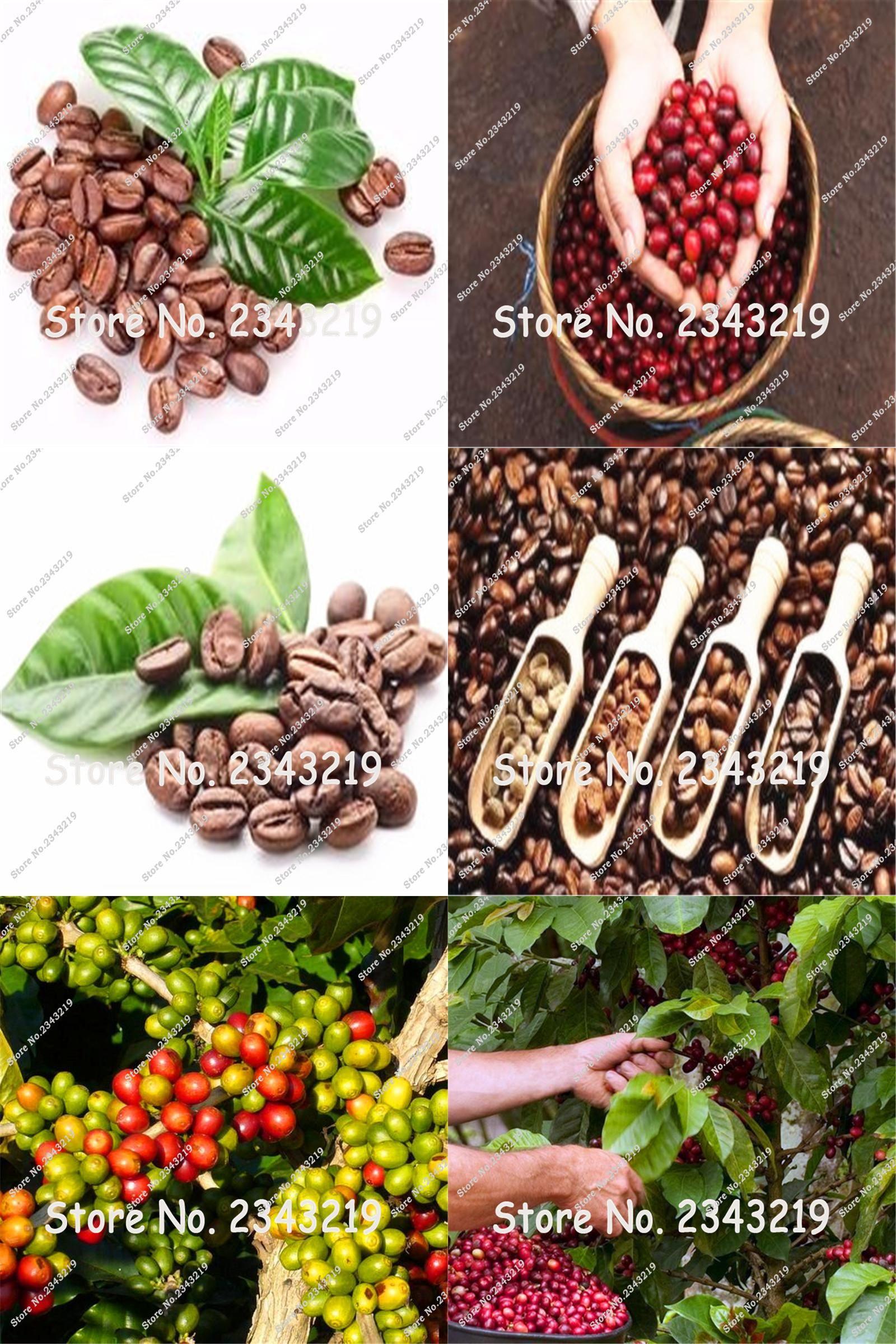 Visit To Buy Coffee Bean Seeds Tropical Bonsai Tree Seeds Perennial Green Vegetable Fruit Coffee Tree Seeds For Ho Natural Coffee Tree Seeds Green Vegetables