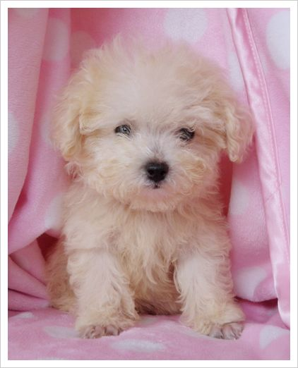 Fierce Teacup Poodle Toy Poodle Puppy For Sale At Teacups Puppies