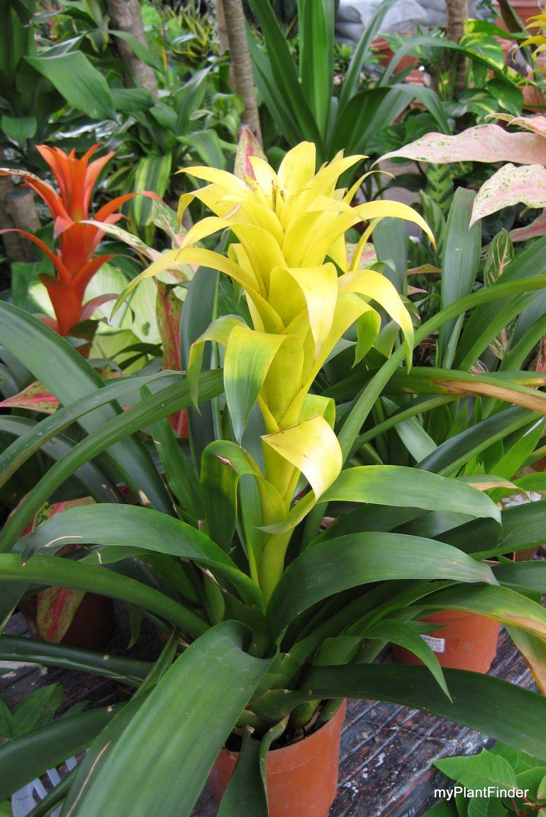 guzmania lingulata, bromeliad, central america | tropical plants