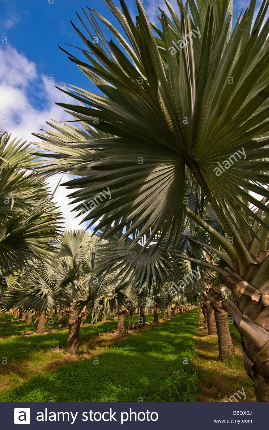 Silver Palm Trees Homestead Florida Foliage Fields Tree