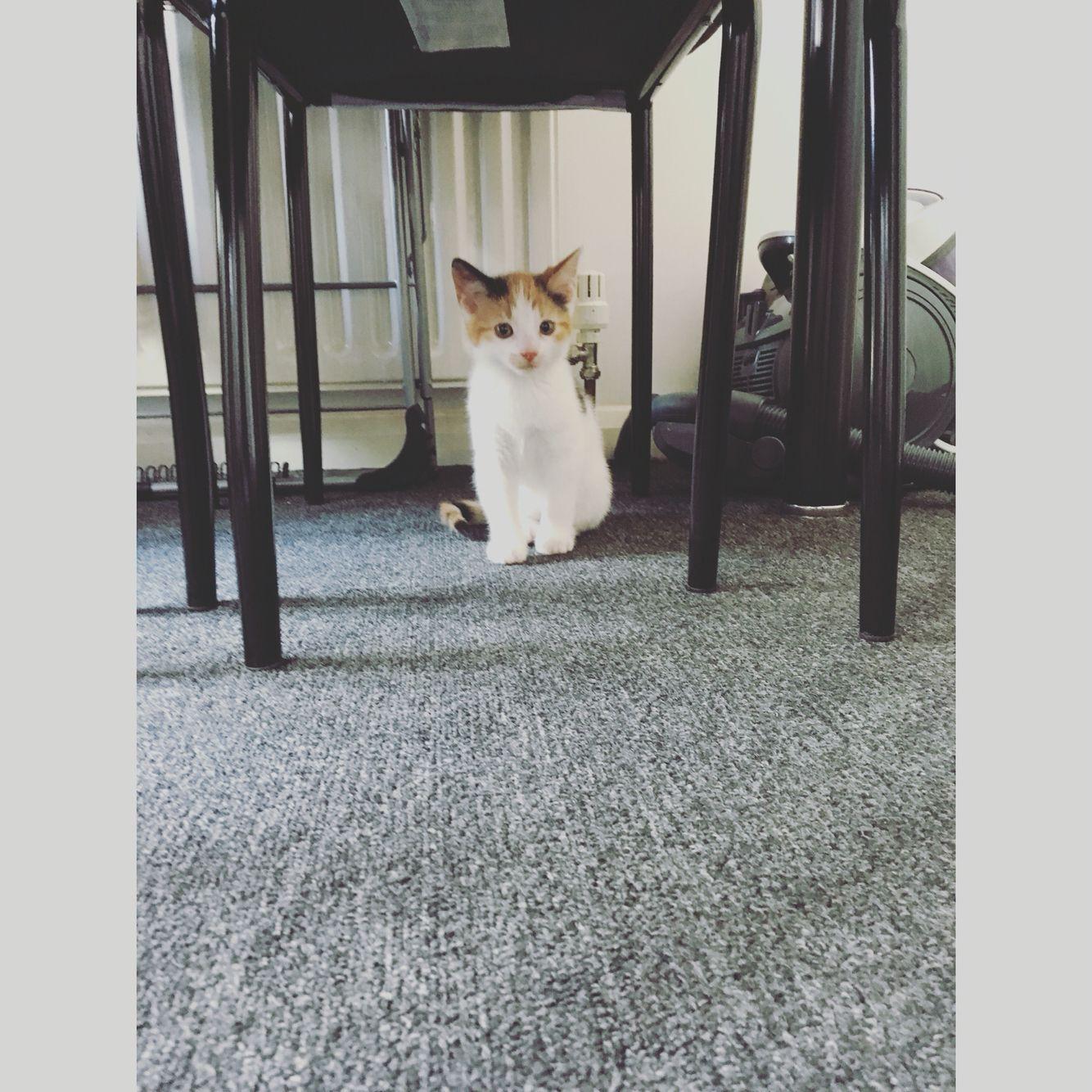 #kitten #juno #8 #weeks #baby #girl #love #pretty #white #black #ginger #kitchen #home #pet #eternal #love