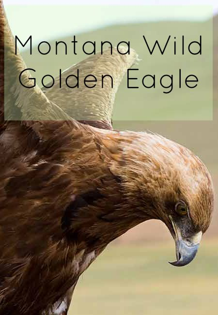 Montana Wild: The Golden Eagle | Glacier Country  http://www.glaciermt.com/golden-eagle.php