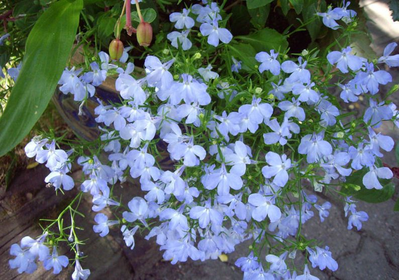 1000 Multi Pelleted Lobelia Seeds Regatta Sky Blue Bulk Flower