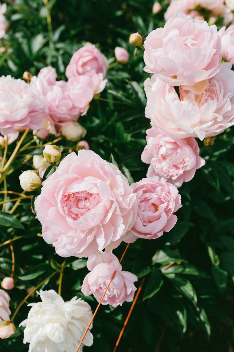 Geraldines Peony Farm Pacific North West Usa Flower