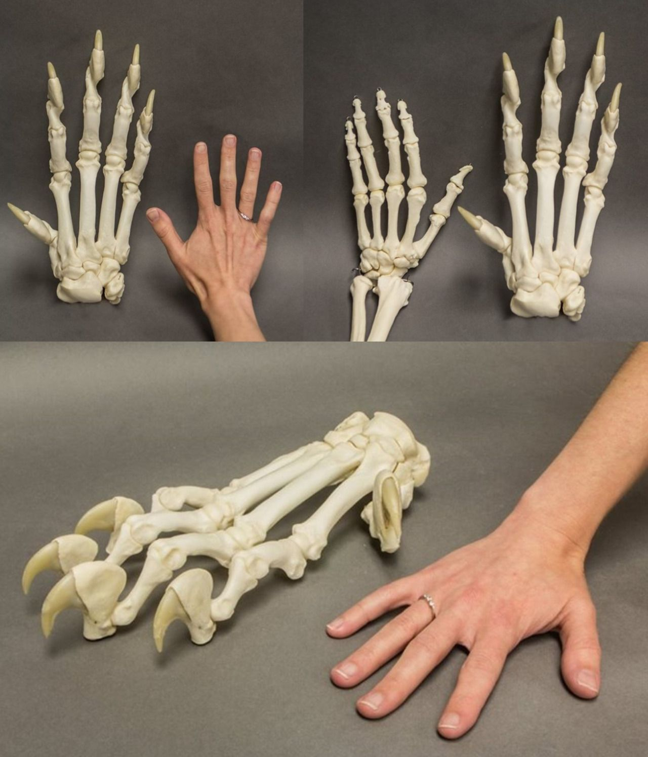 """malformalady: """" human hand versus tiger paw. a tiger's front paws, Skeleton"""