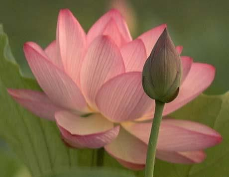 Indias National Flower The Lotus Flowers Pinterest Lotus