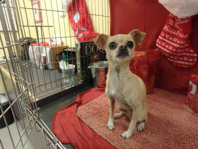 Gayweho Dogs 4 U On Dogs Chihuahua Dogs Chihuahua