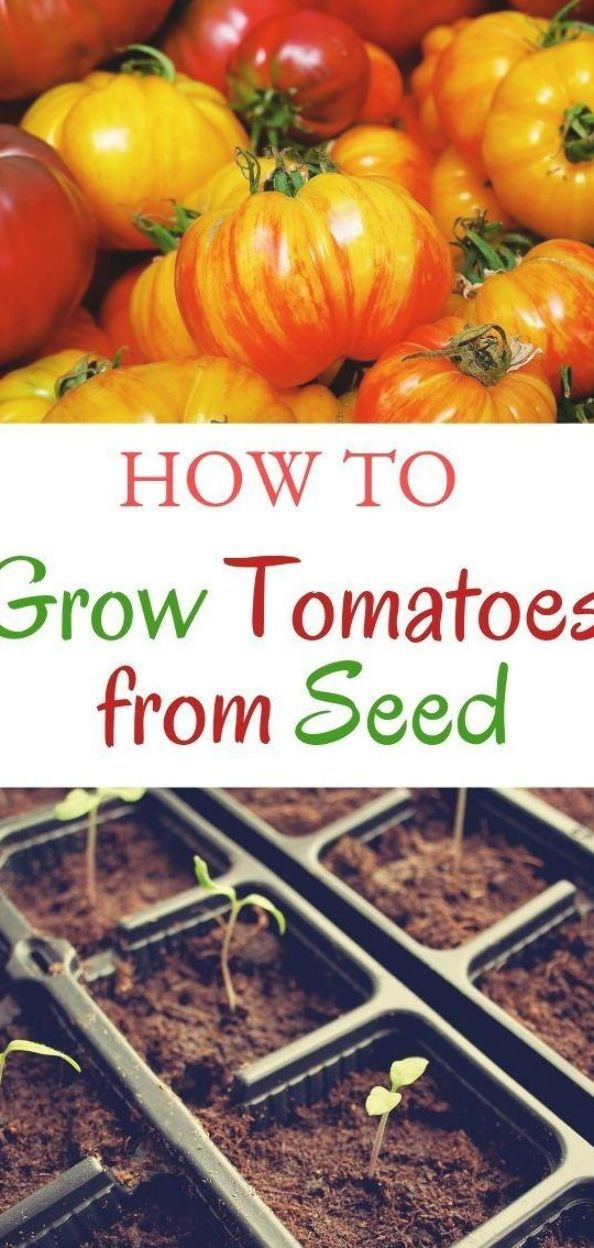 Learn how to grow tomato plants from seed. Tips, how to, and when. #audreyslittlefarm #tomatoplants#seedstarting