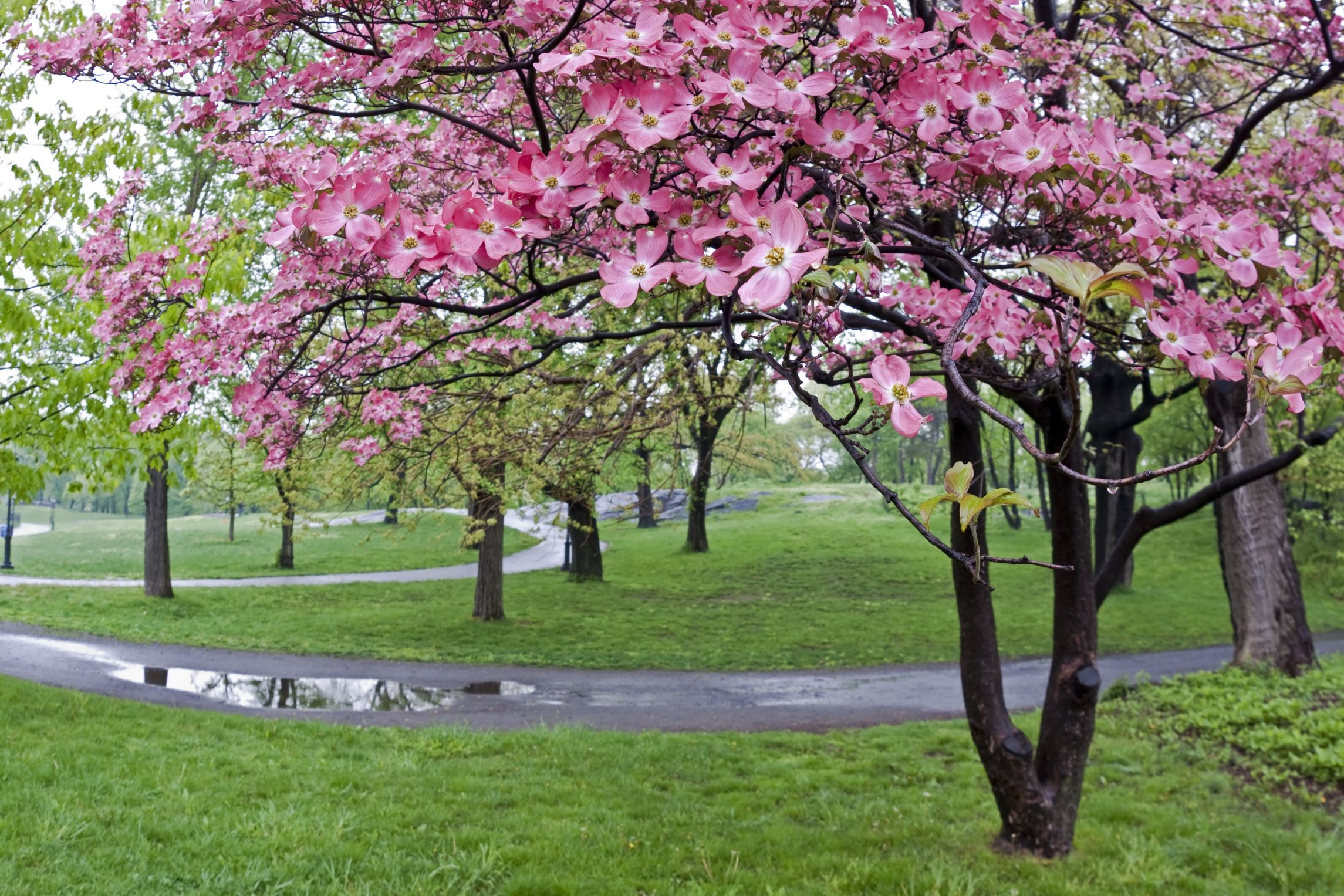 What Is The Root System Of A Dogwood Tree Hunker Dogwood Tree Landscaping Dogwood Trees Pink Dogwood Tree