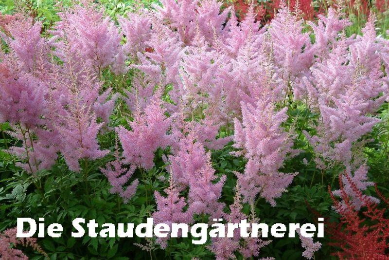 Hortensien Im Schatten astilbe arendsii hybr cattleya astilbe arendsii plants and gardens