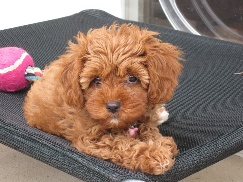 Red Cavoodle Puppies In Their New Homes Cavapoo Cavapoo Puppies