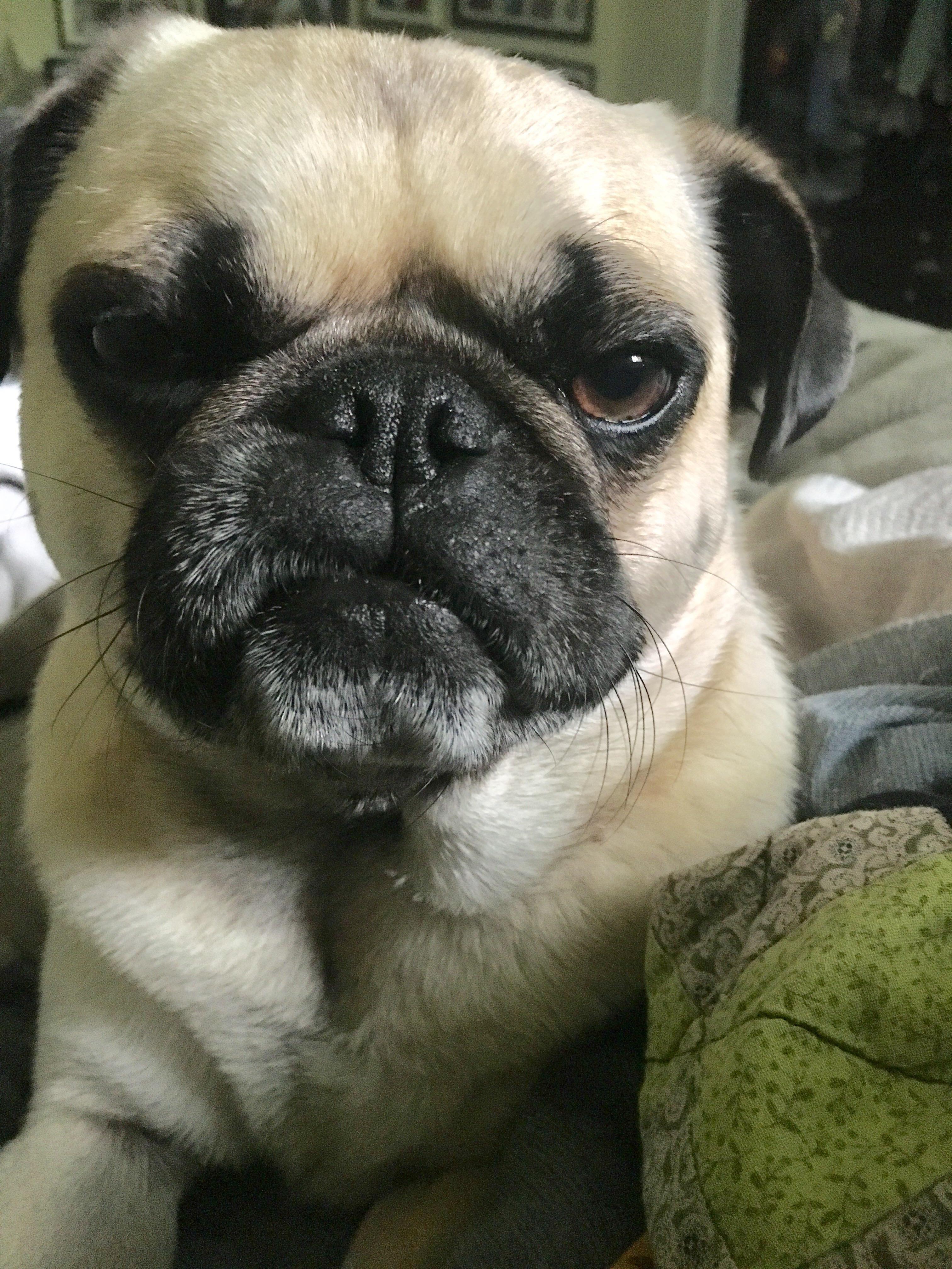 Angry Pug Angry Pug Pugangry Angrypug Upsetmoodsofpug