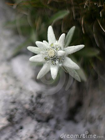 Edelweiss Alpine Flower Bayern The Rest Of Germany And Other
