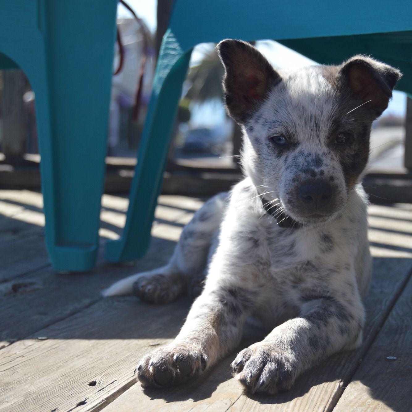 Texas Heeler Queensland Heeler Australian Shepherd Cute Animals