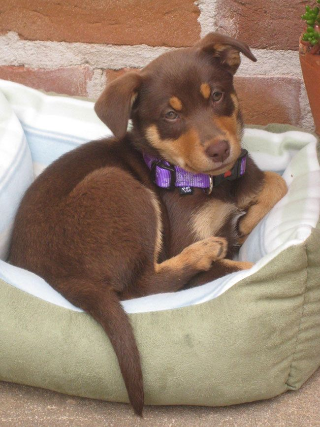 Kelpie Cross Brown Lab Google Search Pup Animals Dogs